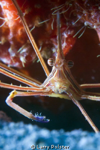 Arrow crab, D300-60mm, Subsee adapter by Larry Polster 